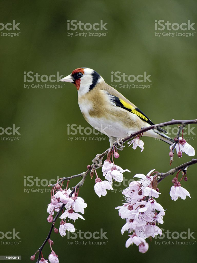 Goldfinch, Carduelis stock photo