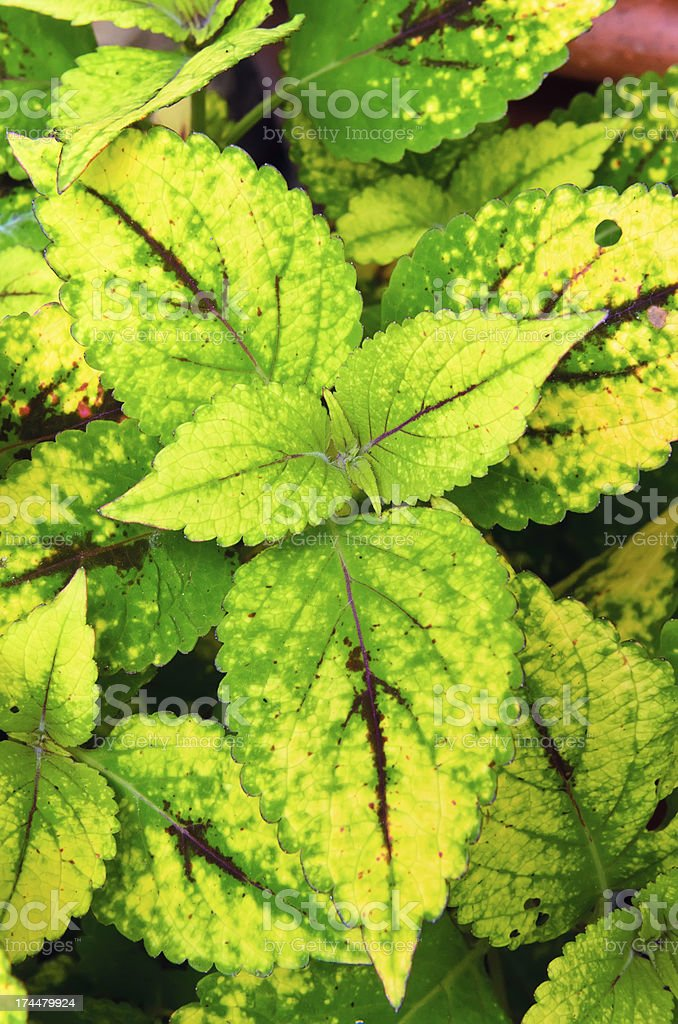 Goldfinch coleus cultivar royalty-free stock photo