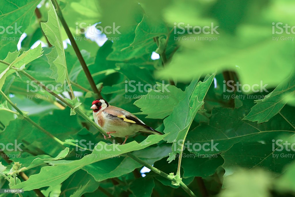 Goldfinch hidden among the leaves stock photo