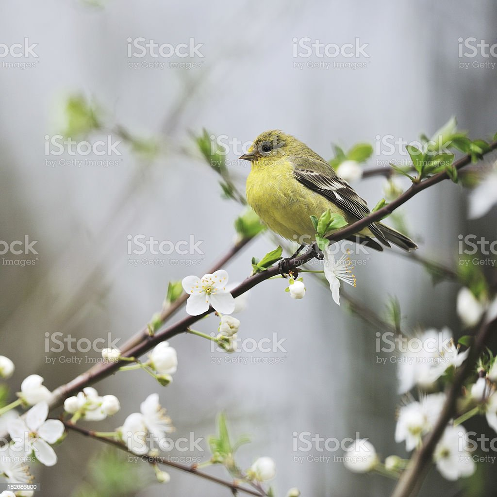 Goldfinch in Cherry Blossoms stock photo