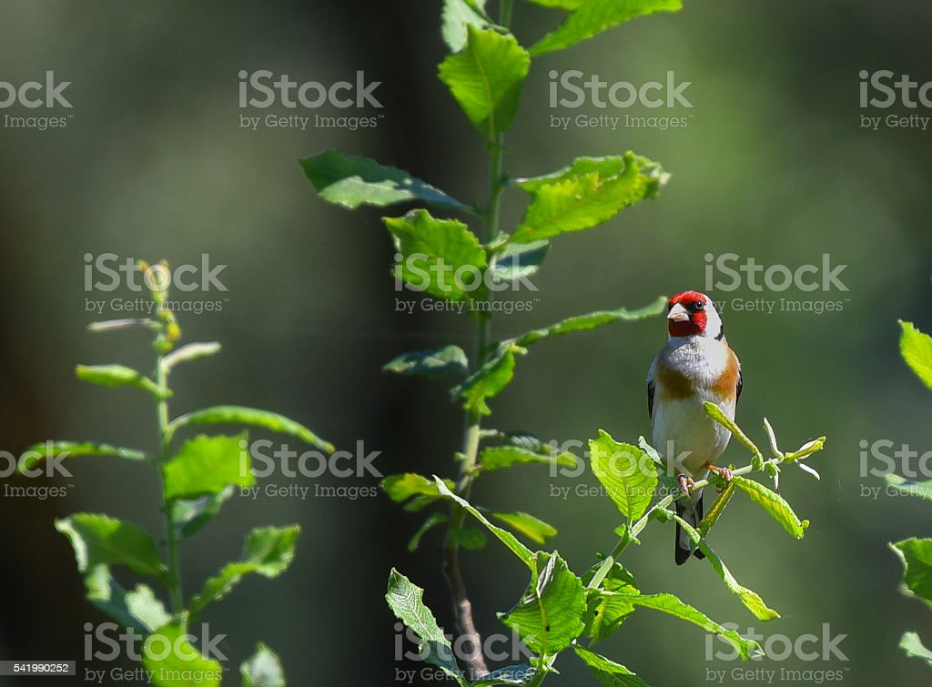 goldfinch in the leaves of a tree stock photo
