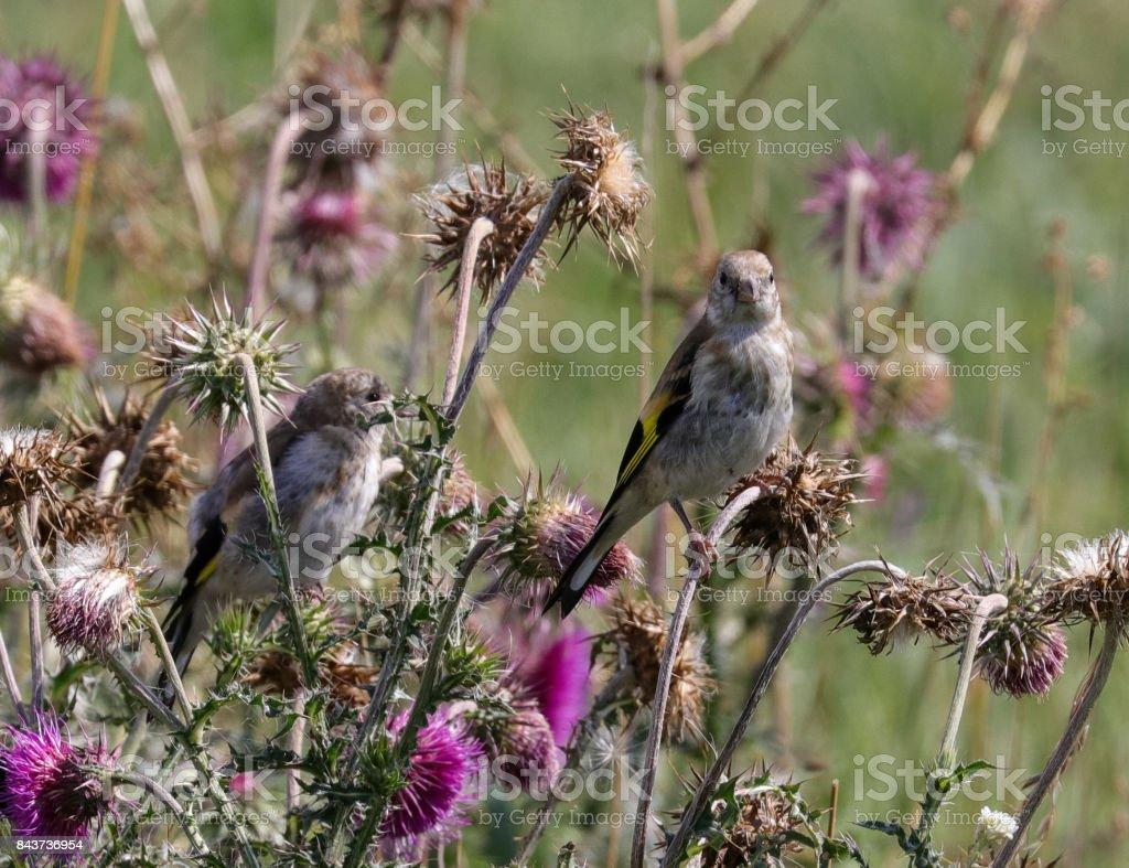 Goldfinch, juvenile stock photo