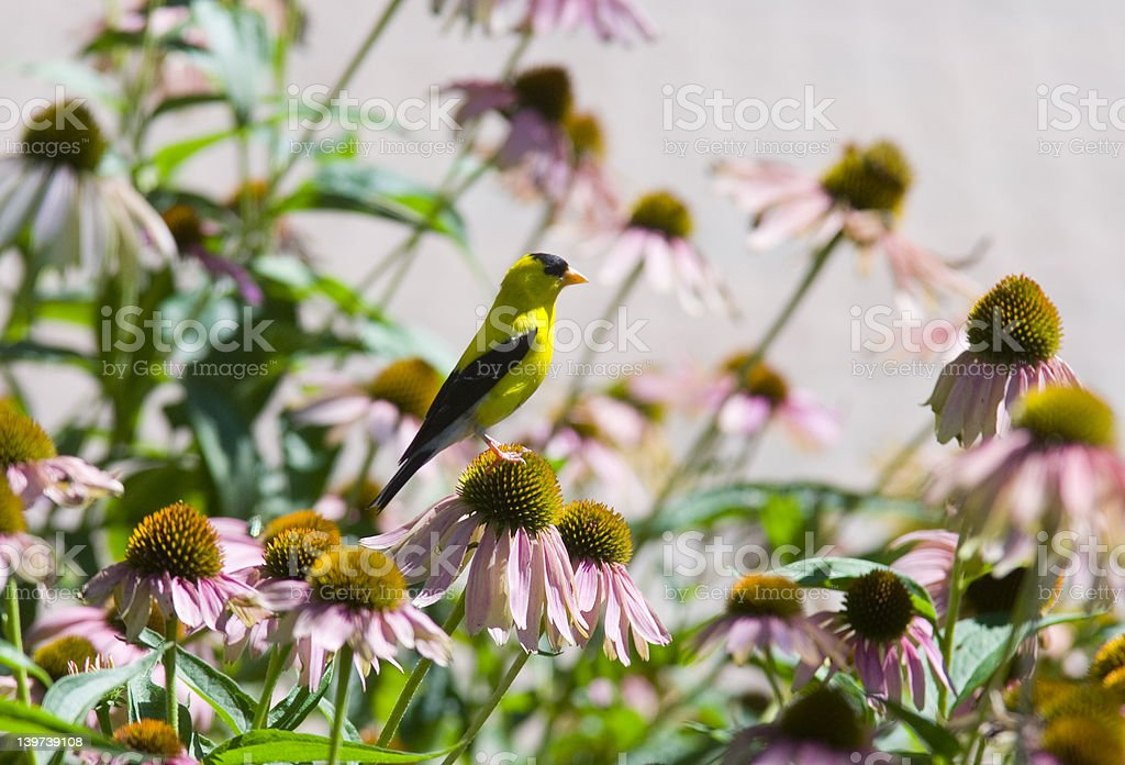 Goldfinch on a flower stock photo