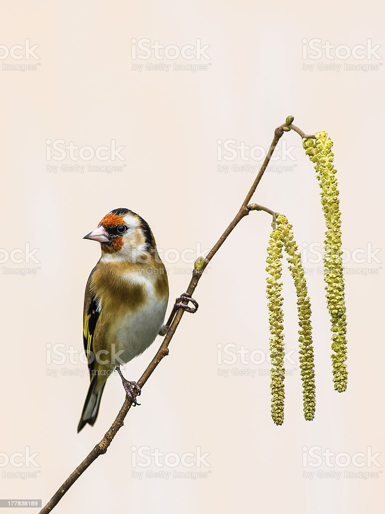 Goldfinch on Catkins royalty-free stock photo
