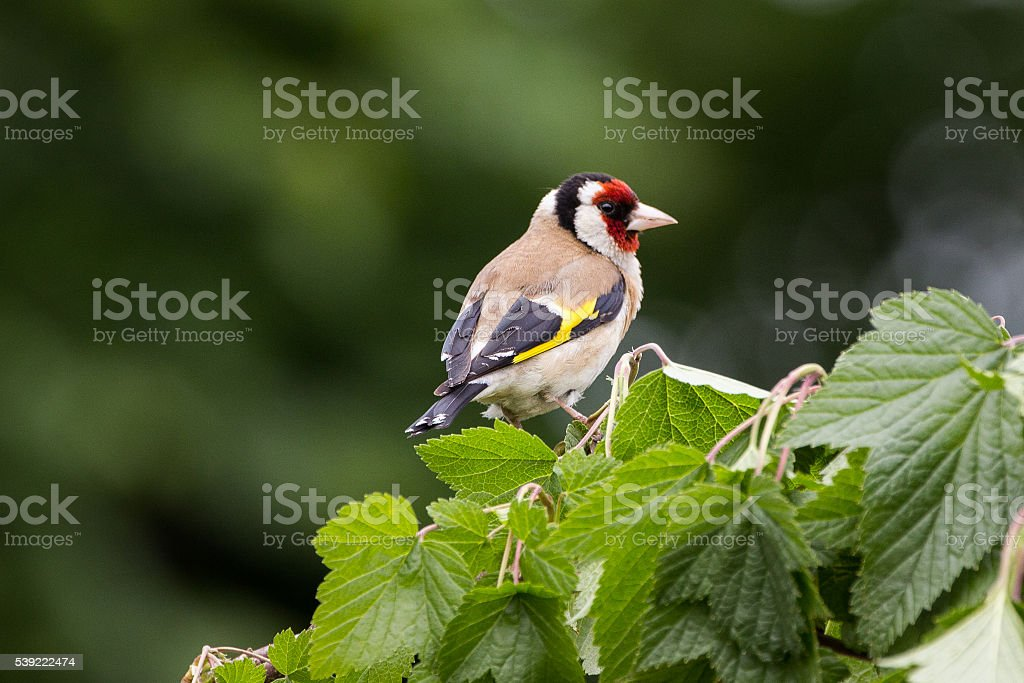 Goldfinch on leafy Branch stock photo