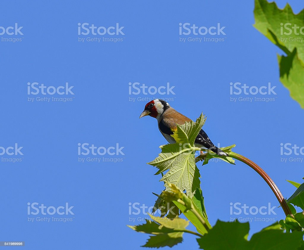 Goldfinch on top of the tree stock photo