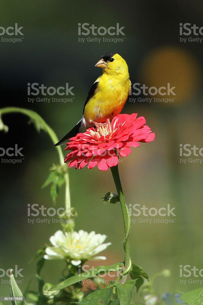 Goldfinch on Zinnia stock photo