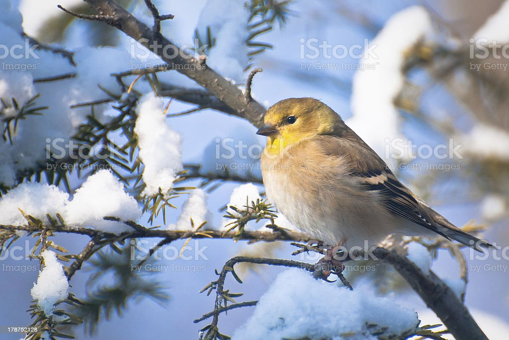 Goldfinch Perched in the Snow stock photo