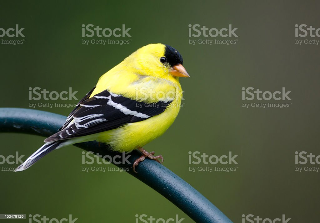 Goldfinch perched on post stock photo