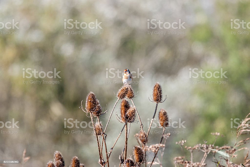 Goldfinch perched on teasel thistles stock photo