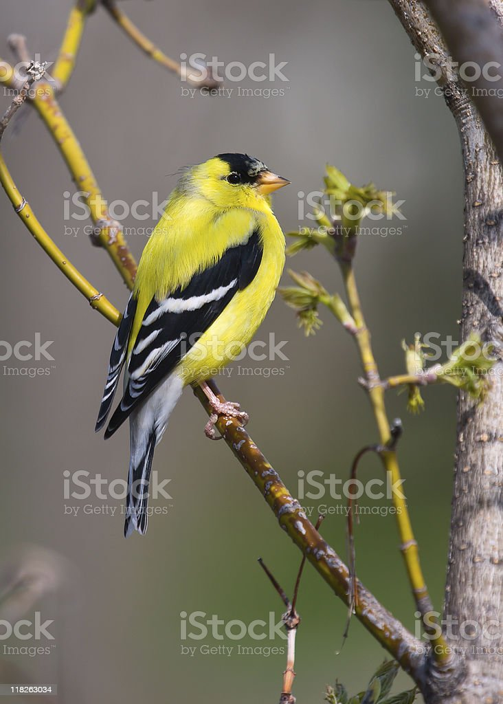 Goldfinch Perched stock photo