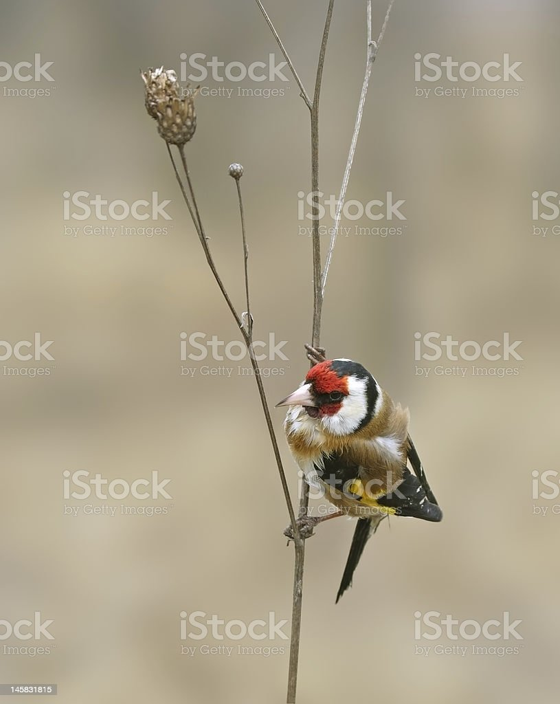 Goldfinch ( Carduelis ) royalty-free stock photo