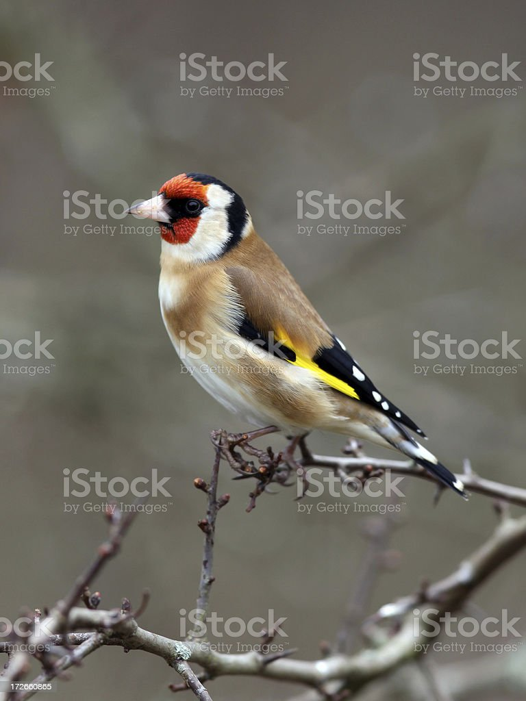 Goldfinch  (Carduelis-carduelis) royalty-free stock photo