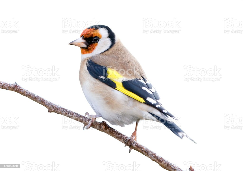 Goldfinch (Carduelis-carduelis) stock photo
