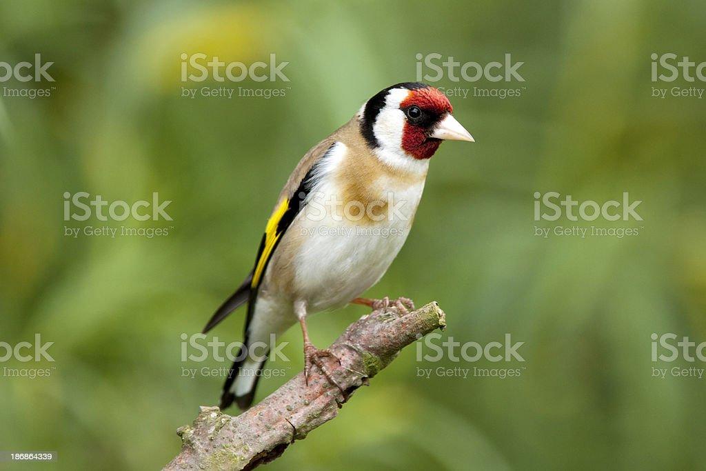 Goldfinch (Carduelis-carduelis) royalty-free stock photo
