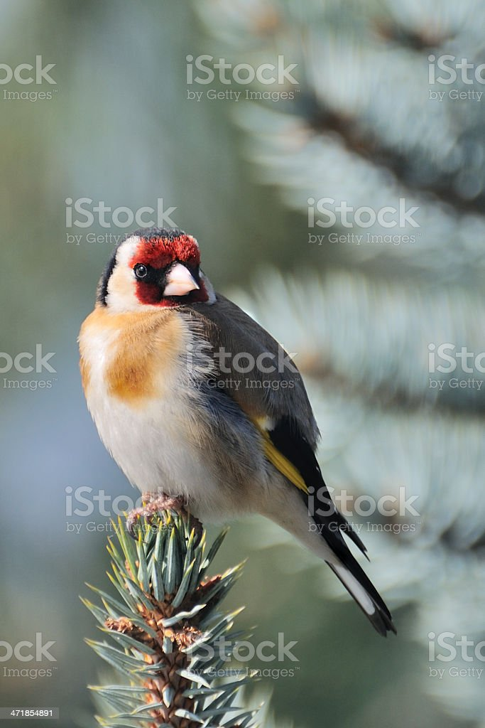 Goldfinch royalty-free stock photo