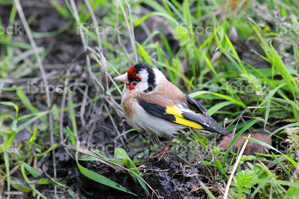 Goldfinch (Carduelis-carduelis) stock photo