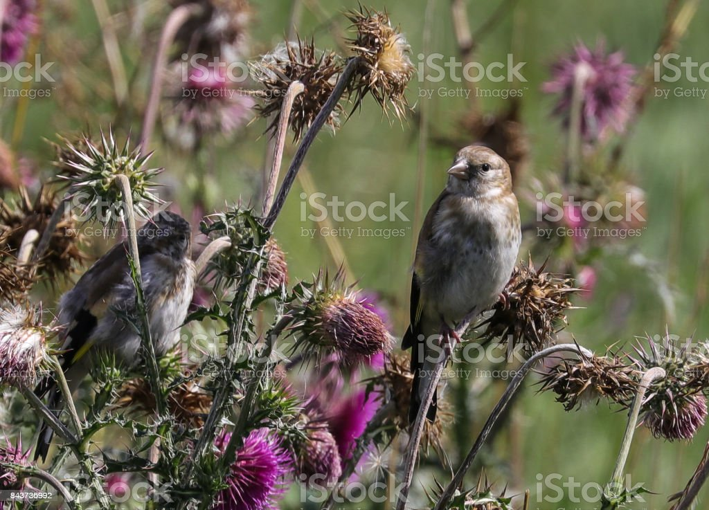 Goldfinch (juvenile) stock photo