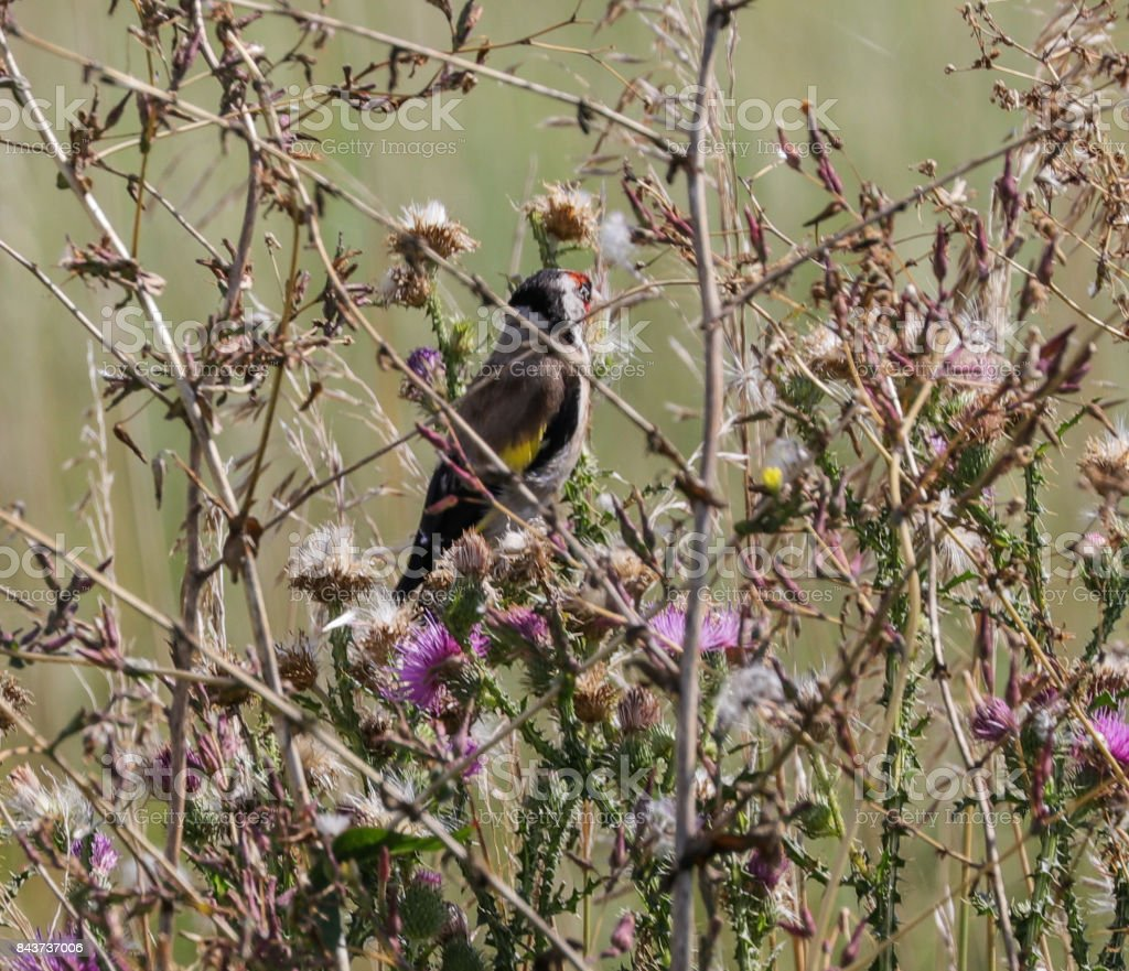 Goldfinch (adult) stock photo