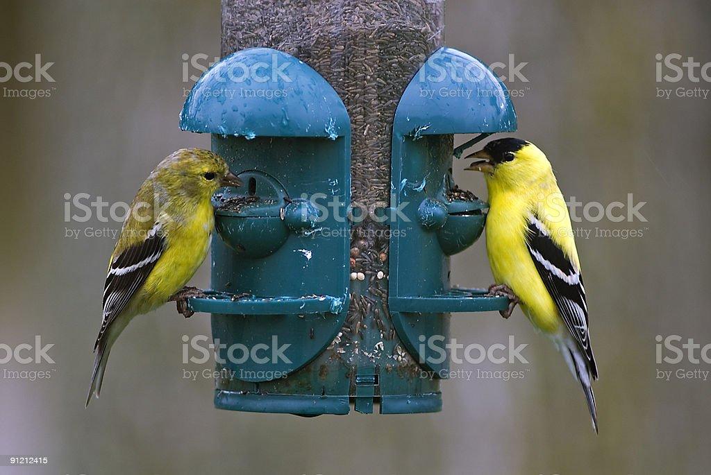 Goldfinches on Bird Feeder royalty-free stock photo