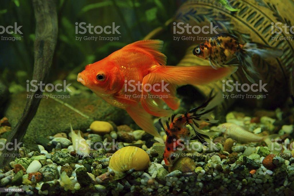 Goldfish, aquarium royalty-free stock photo