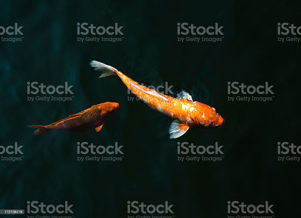 Goldfish from above royalty-free stock photo