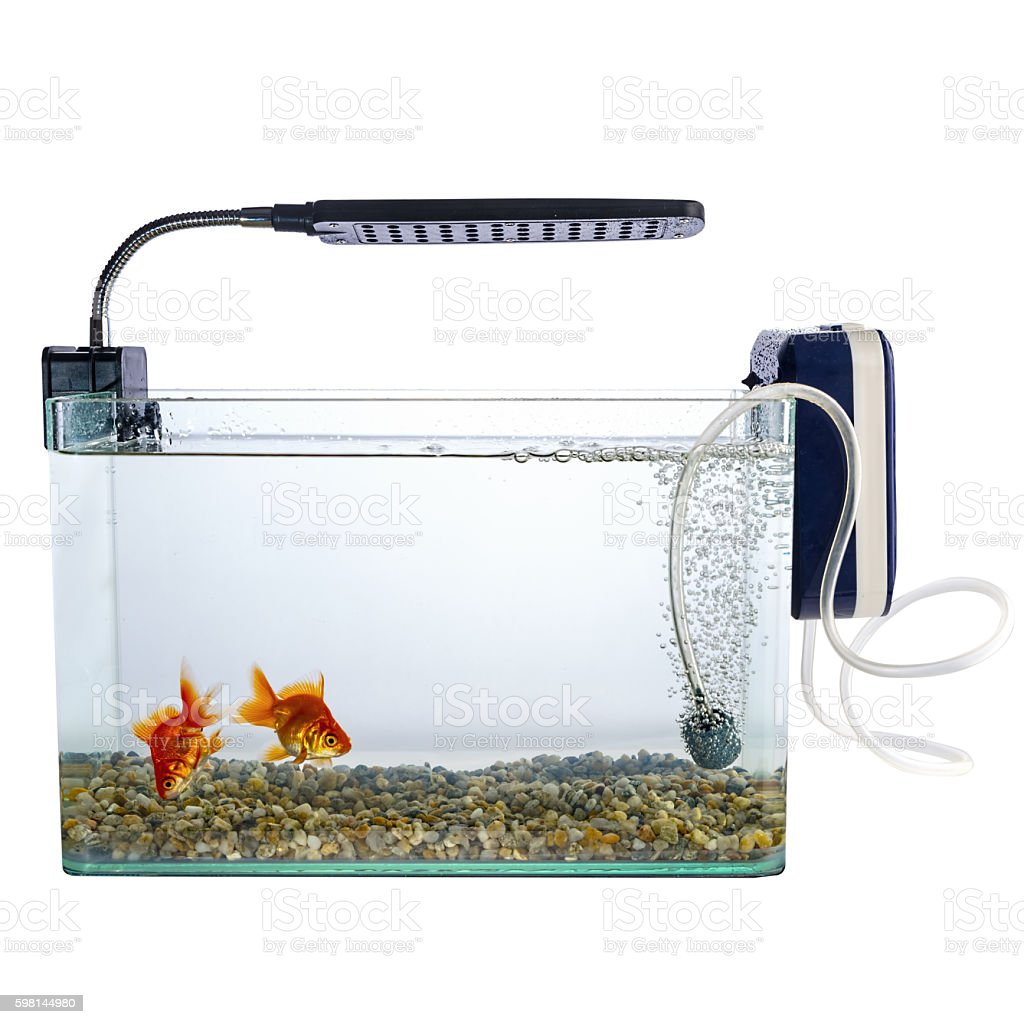 Goldfish in a daylight water tank (aquarium) stock photo