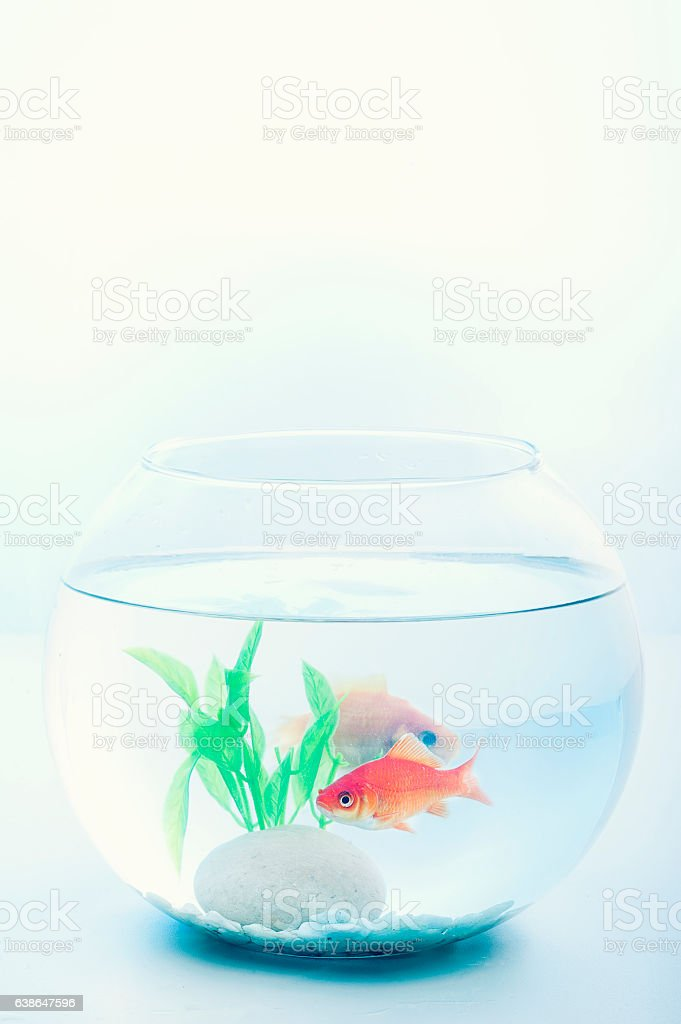 Goldfish in a fish bowl stock photo