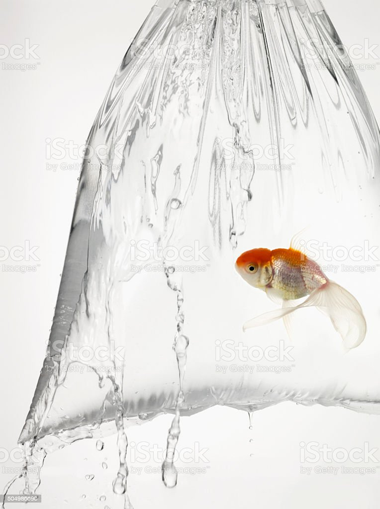 Goldfish in a plastic bag filled with water stock photo