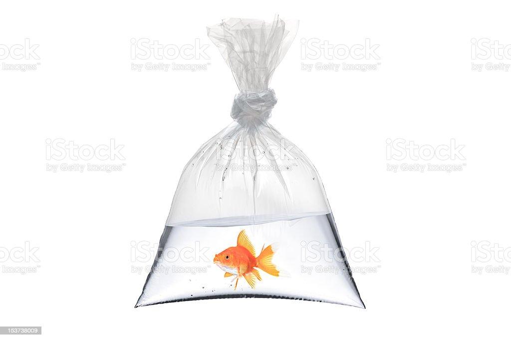 Goldfish in a plastic bag stock photo