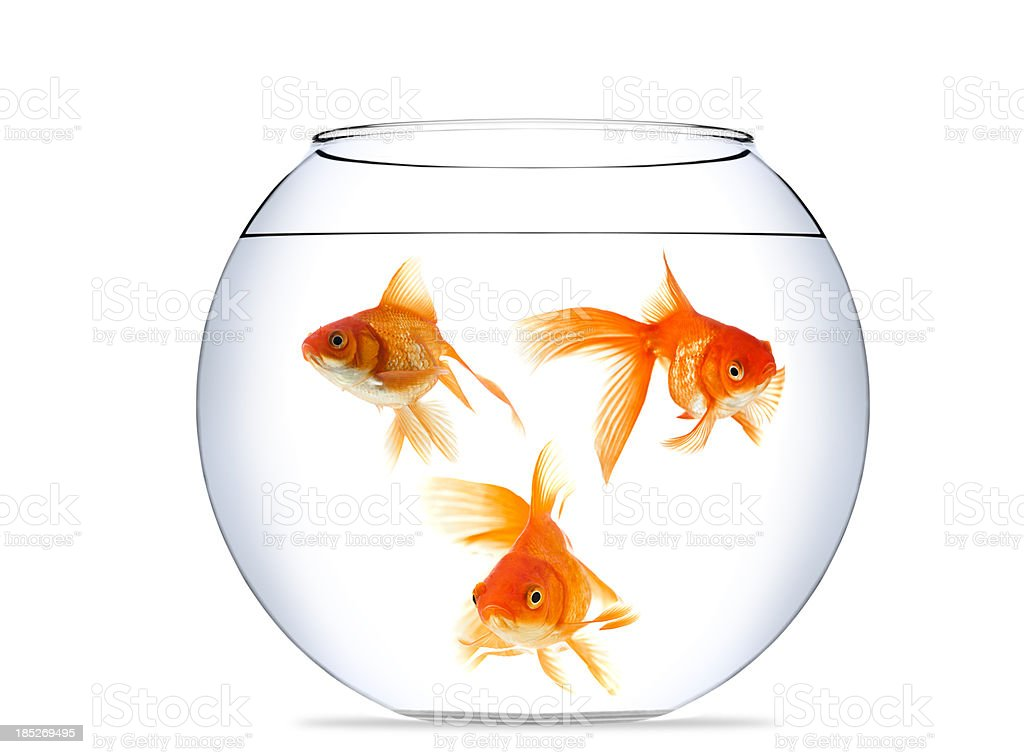 Goldfish in aquarium royalty-free stock photo