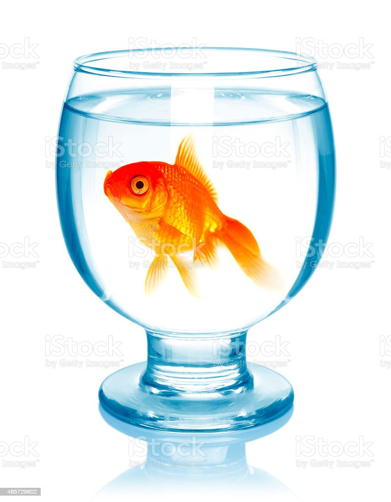 Goldfish in aquarium. stock photo