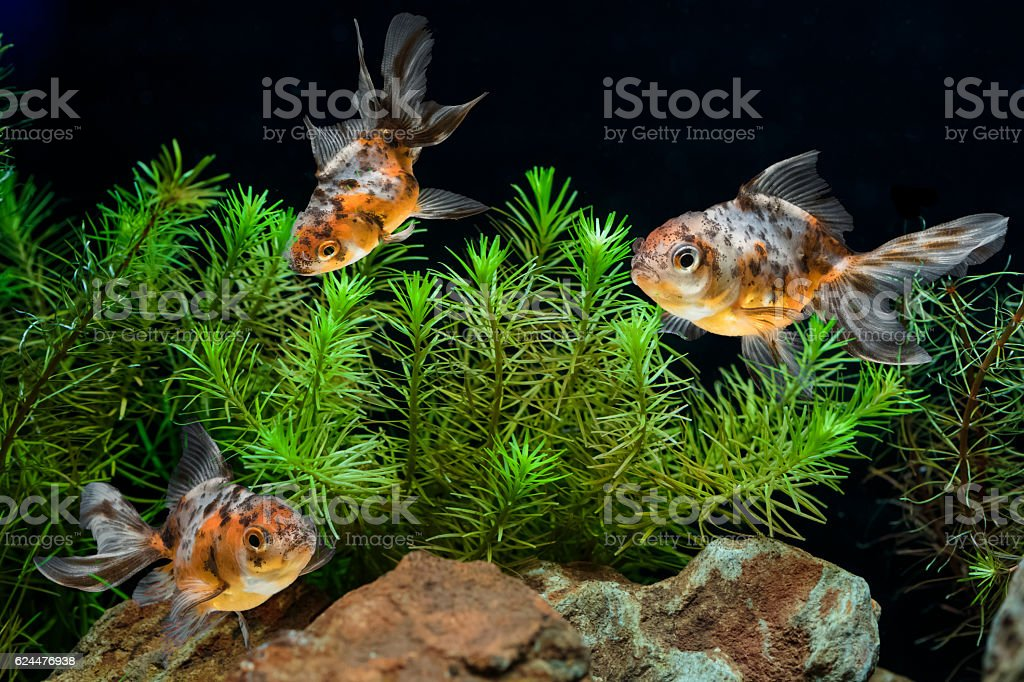 Goldfish in aquarium with green beautiful planted tropical stock photo