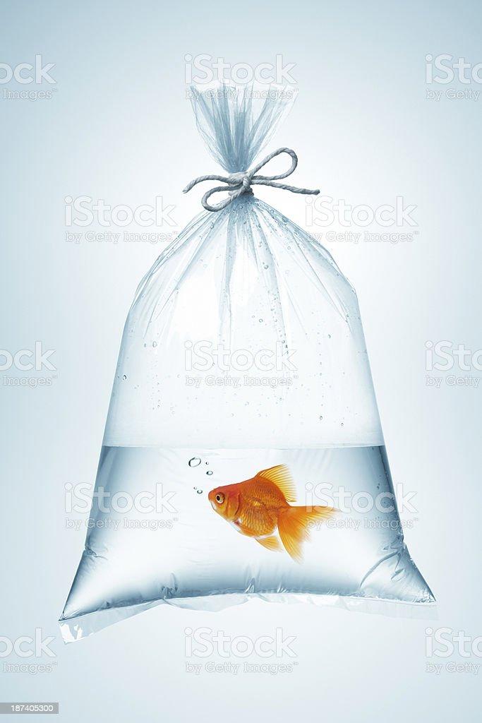 goldfish in bag stock photo