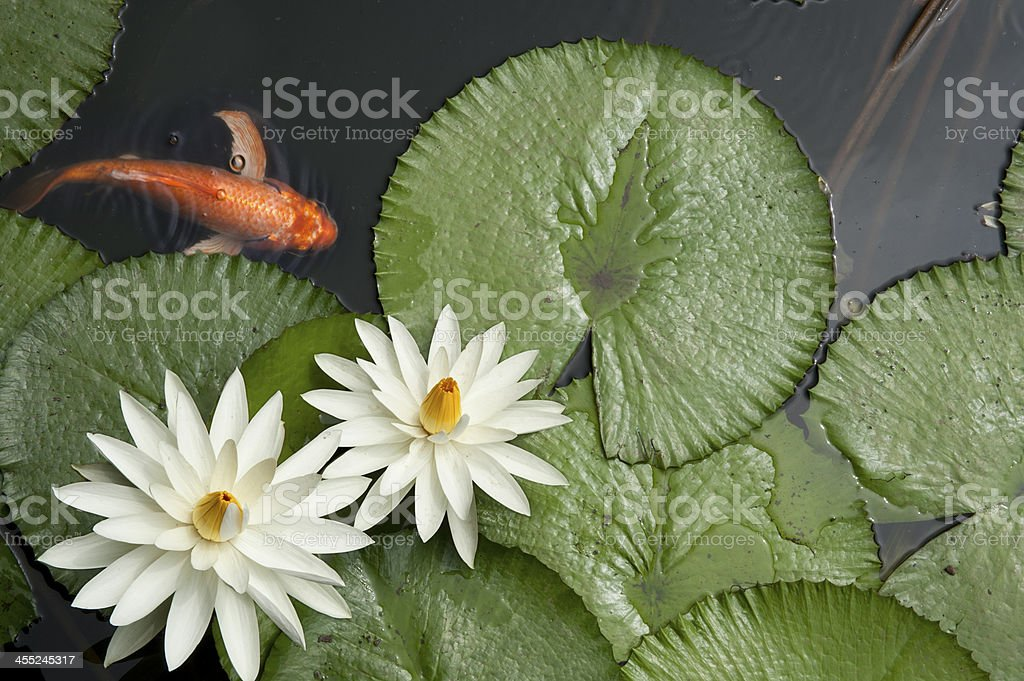 Goldfish in Lotus pond stock photo