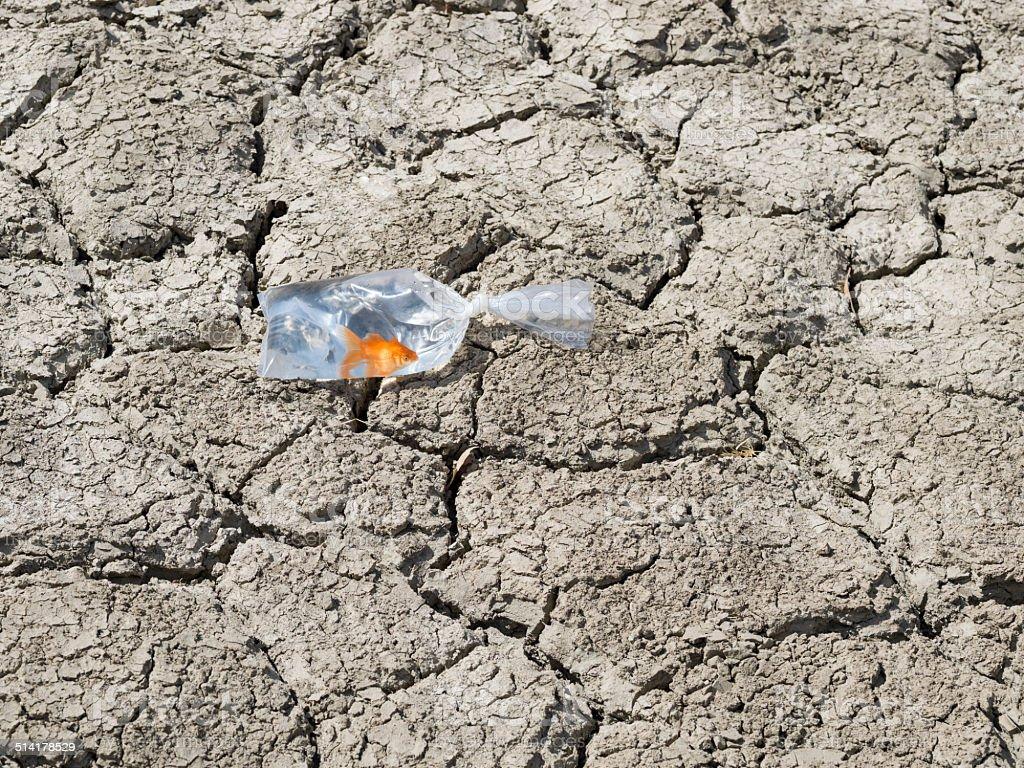 Goldfish in nylon bag on cracked earth stock photo