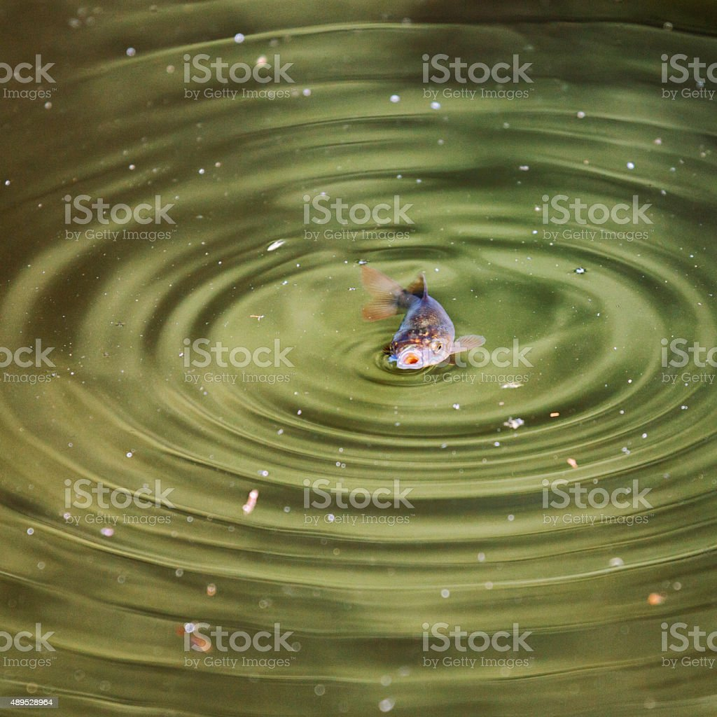 Goldfish in pond stock photo