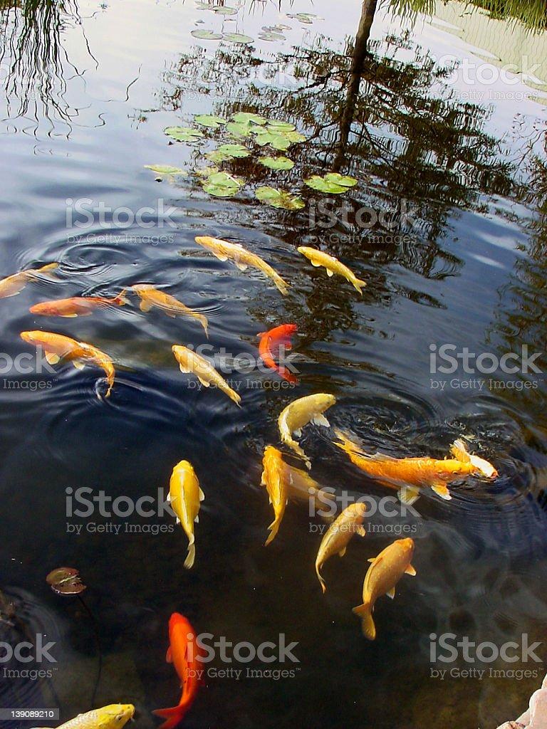 Goldfish in Pond @ Sedgwick County Zoo royalty-free stock photo