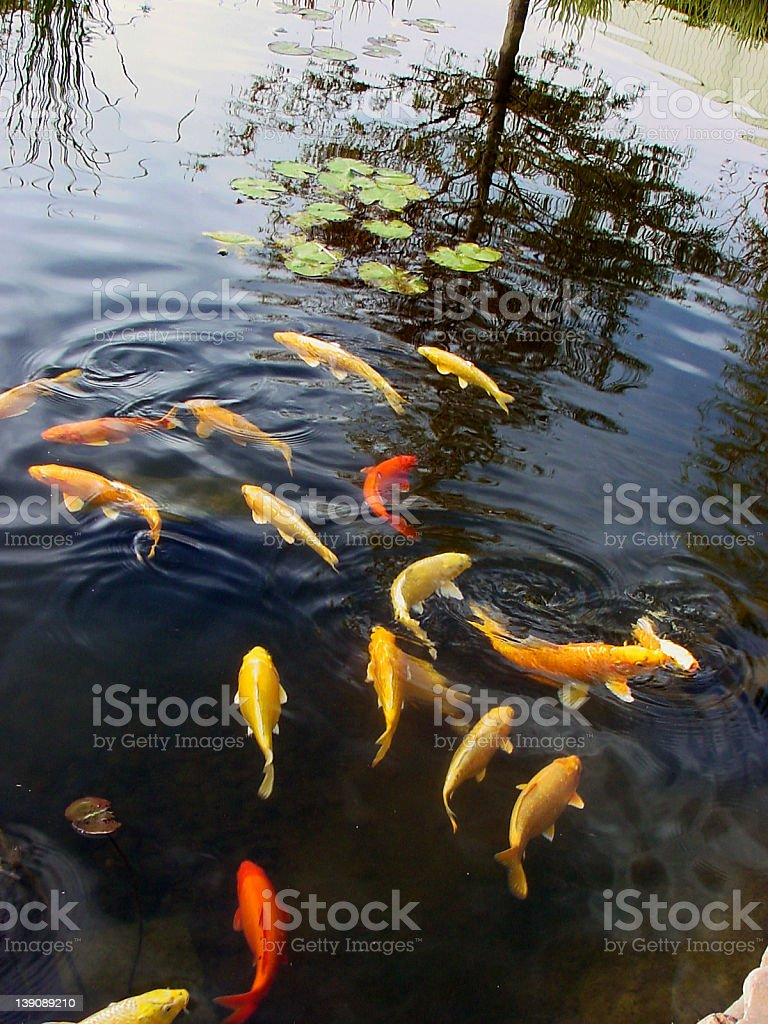 Goldfish in Pond @ Sedgwick County Zoo stock photo