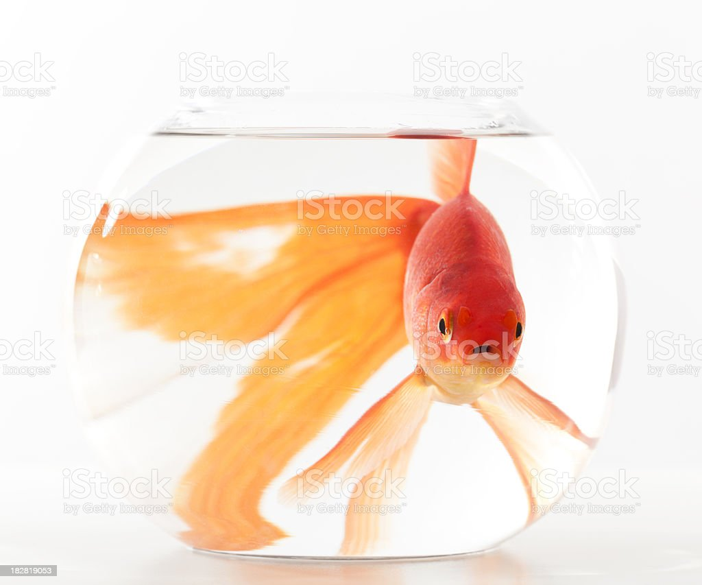 goldfish in small fishbowl royalty-free stock photo