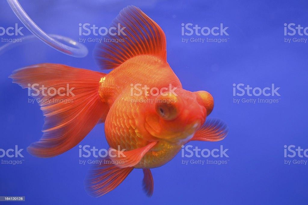 Goldfish in the aquarium. royalty-free stock photo