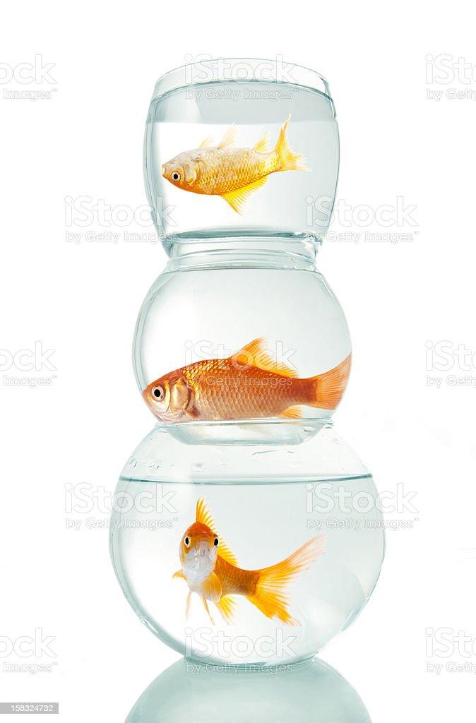 Goldfish in three aquariums stock photo