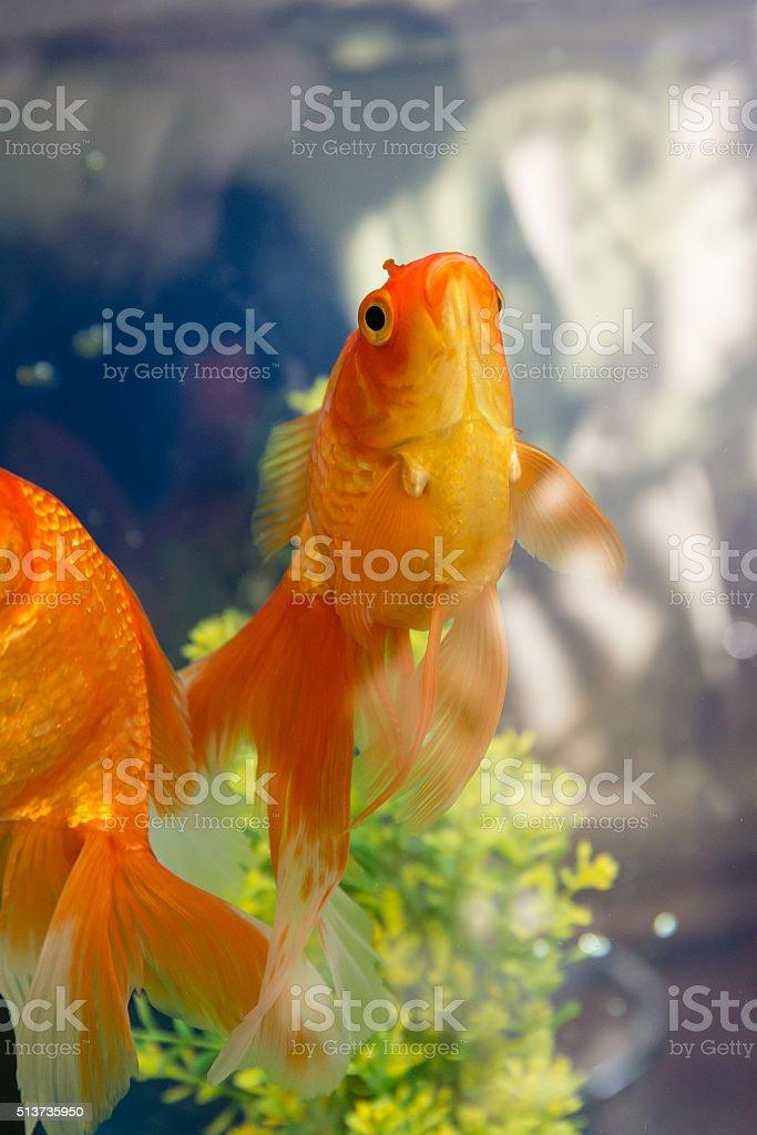 goldfish in water stock photo