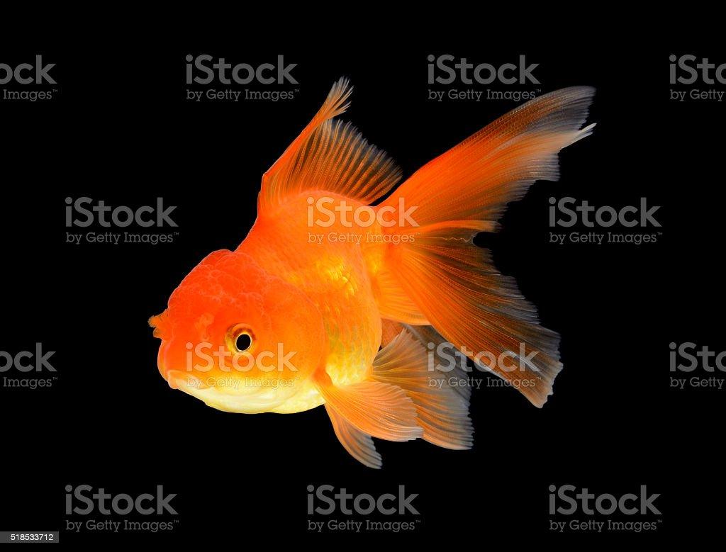 Goldfish Isolated on black Background stock photo