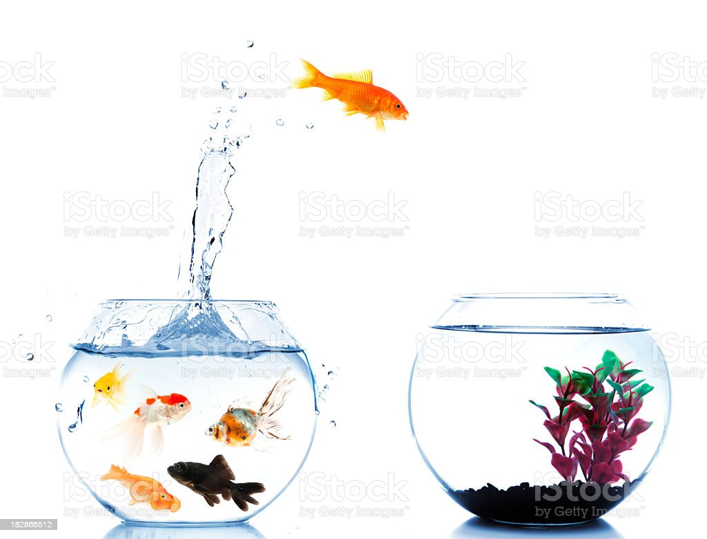 goldfish jumping off to new fishtank stock photo