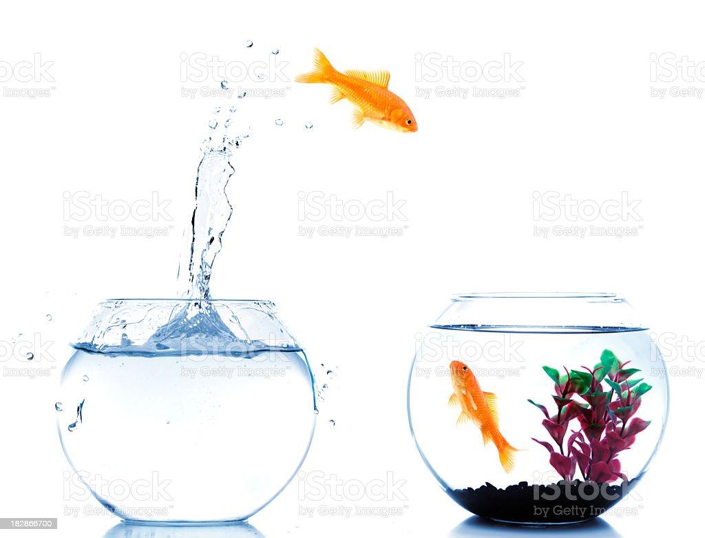 goldfish jumping off to new fishtank stock photo