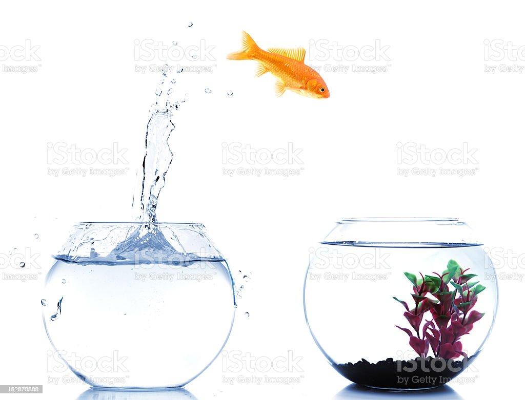 goldfish jumping off to new fishtank royalty-free stock photo
