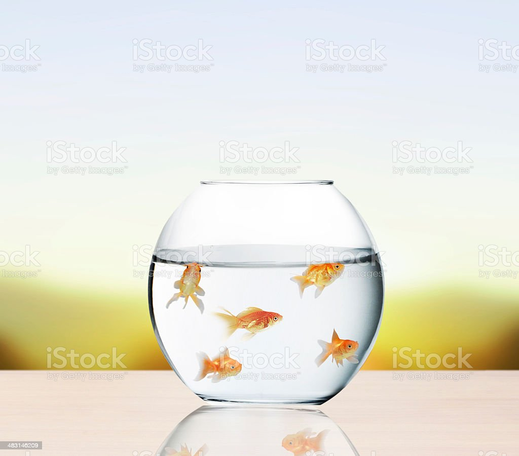 goldfish jumping out of  water royalty-free stock photo