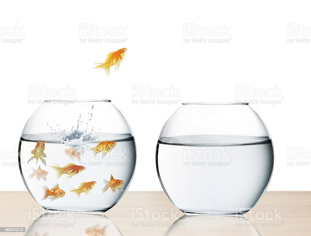 goldfish jumping out of  water stock photo