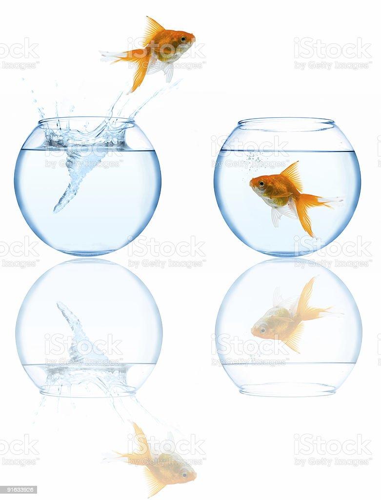 goldfish leaping in aquarium stock photo